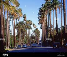Palm Trees Boulevard Beverly Hills Los Angeles