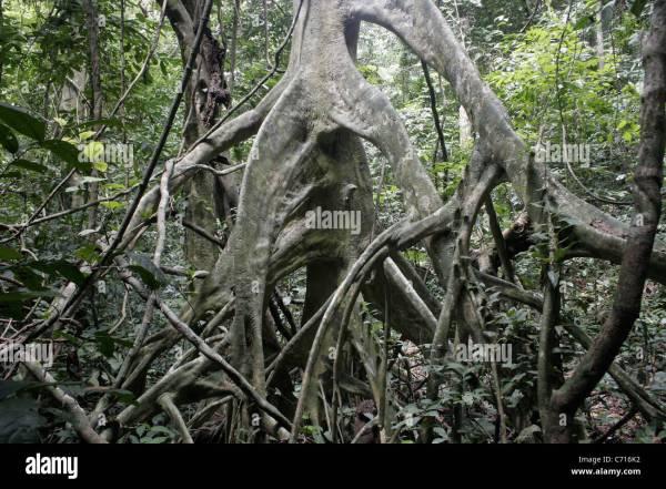 Tree Uapaca Guineensis Phyllanthaceae Showing Stilt