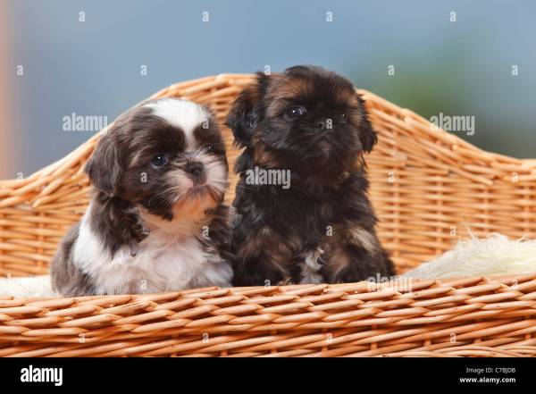 20 Black Shih Tzu 6 Weeks Old Pictures And Ideas On Meta Networks