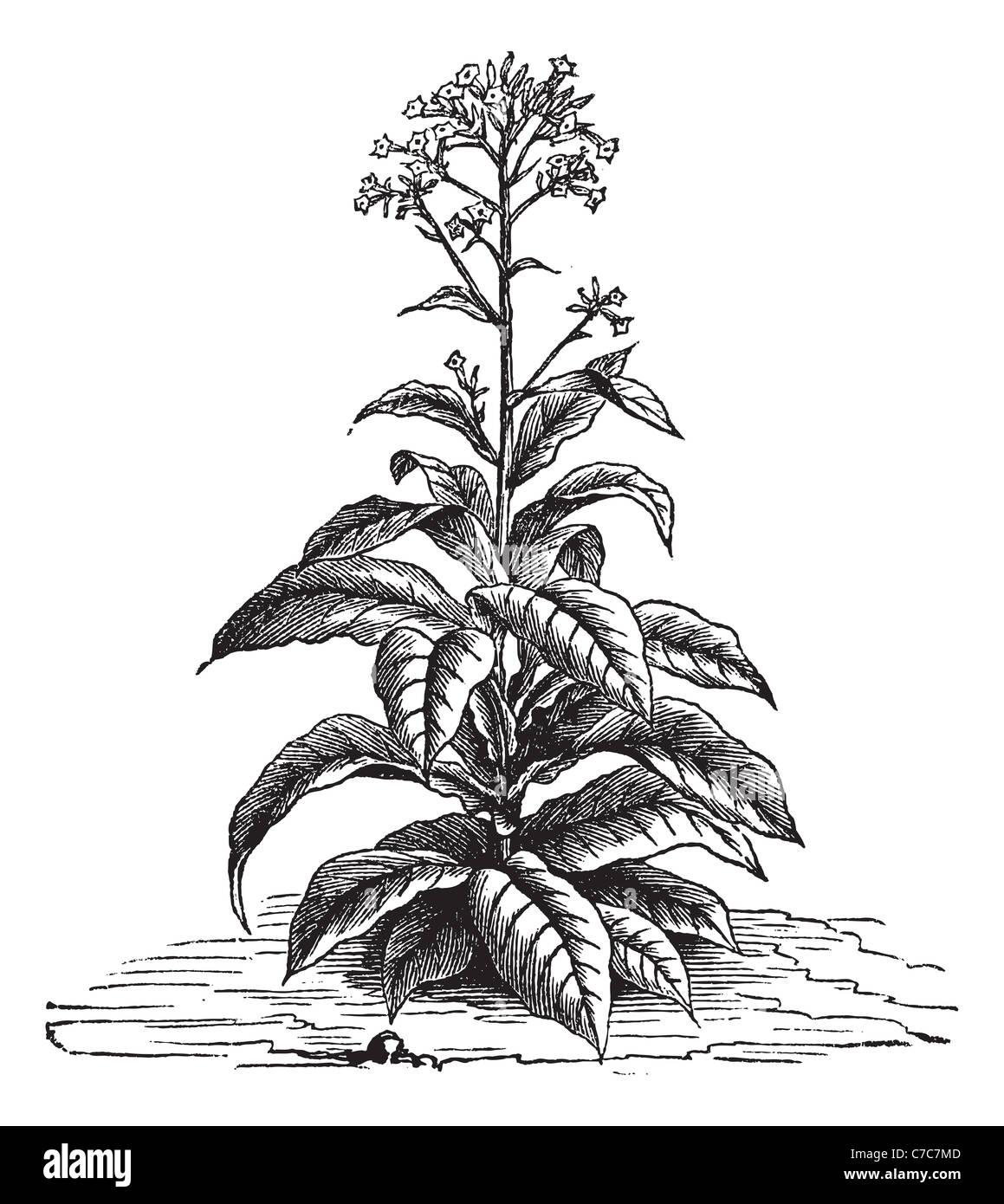 hight resolution of tobacco nicotiana tabacum vintage engraved illustration trousset encyclopedia 1886 1891