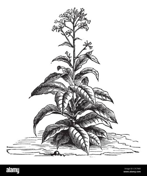 small resolution of tobacco nicotiana tabacum vintage engraved illustration trousset encyclopedia 1886 1891