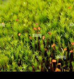 common haircap moss polytrichum commune capsules stock image [ 1300 x 955 Pixel ]