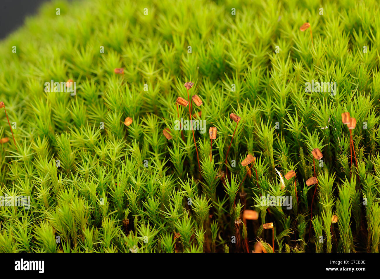 hight resolution of common haircap moss polytrichum commune capsules stock image