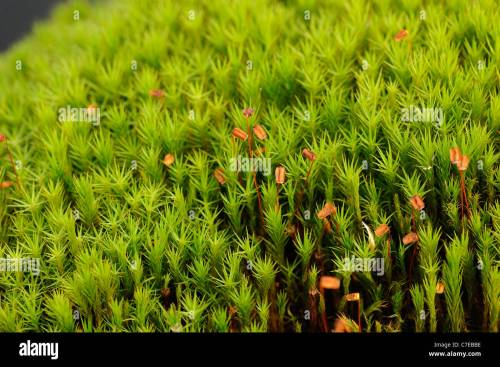 small resolution of common haircap moss polytrichum commune capsules stock image