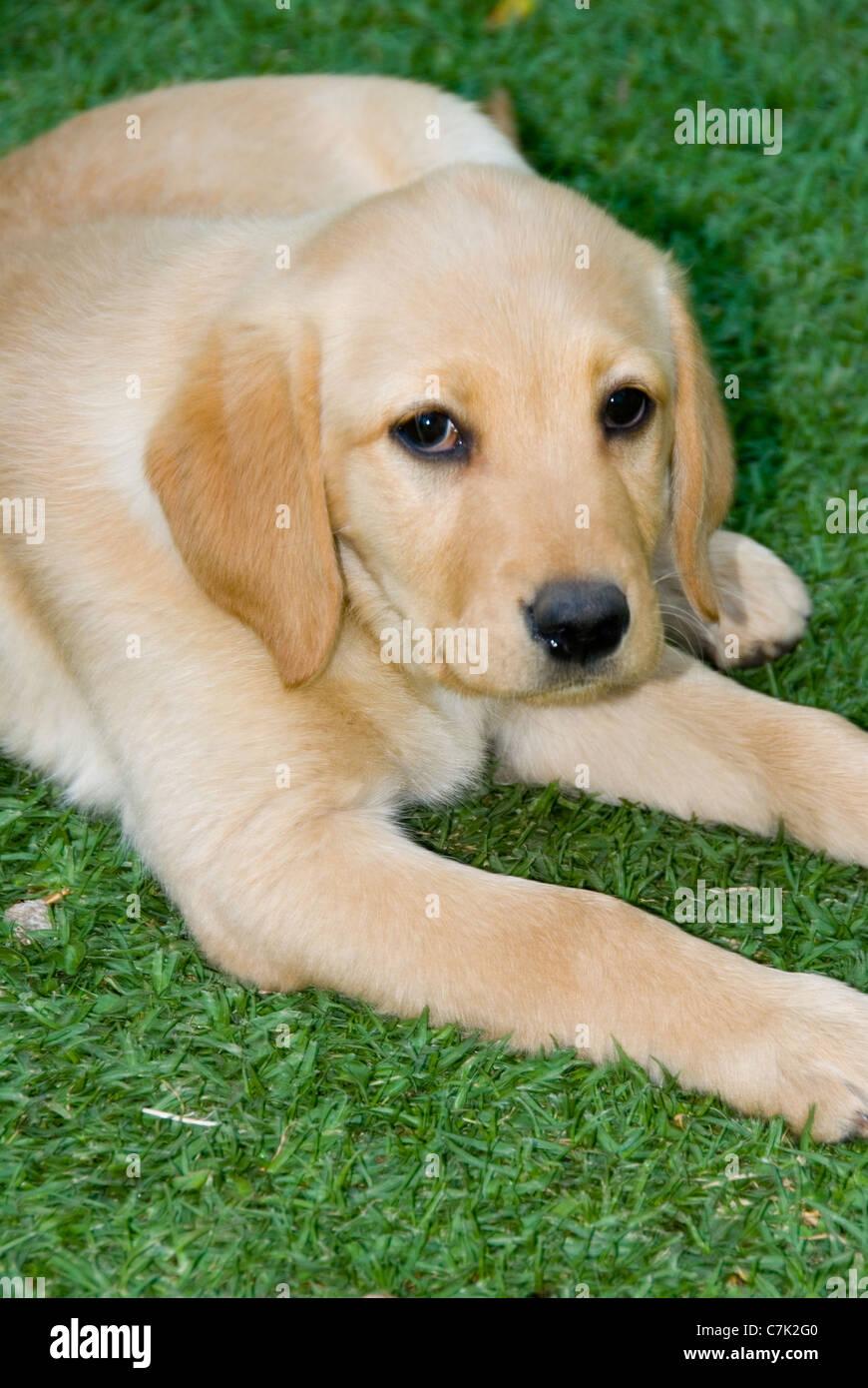 400+ Free Labrador Retriever & Labrador Images - Pixabay