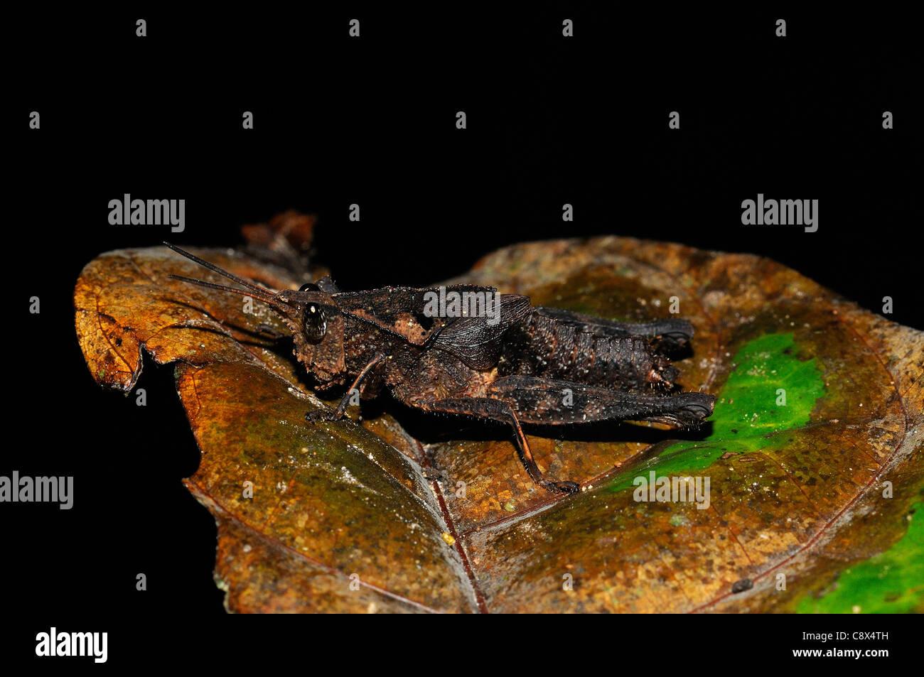 Acridid Short-horned Grasshopper (Acrididae) flightless. amongst Stock Photo: 39912561 - Alamy