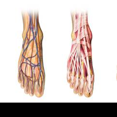 Veins In The Foot Diagram Ecm Motor Wiring Human Anatomy Cutaway Representation Showing Skin And Arterias Muscles Bones With Clipping Path Included