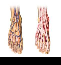 human foot anatomy cutaway representation showing skin veins and arterias muscles bones [ 1300 x 732 Pixel ]