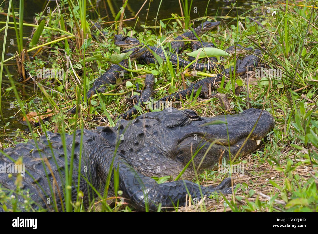 Alligator Baby Worksheet