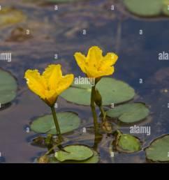 europaeische seekanne nymphoides peltata fringed water lily [ 1300 x 956 Pixel ]