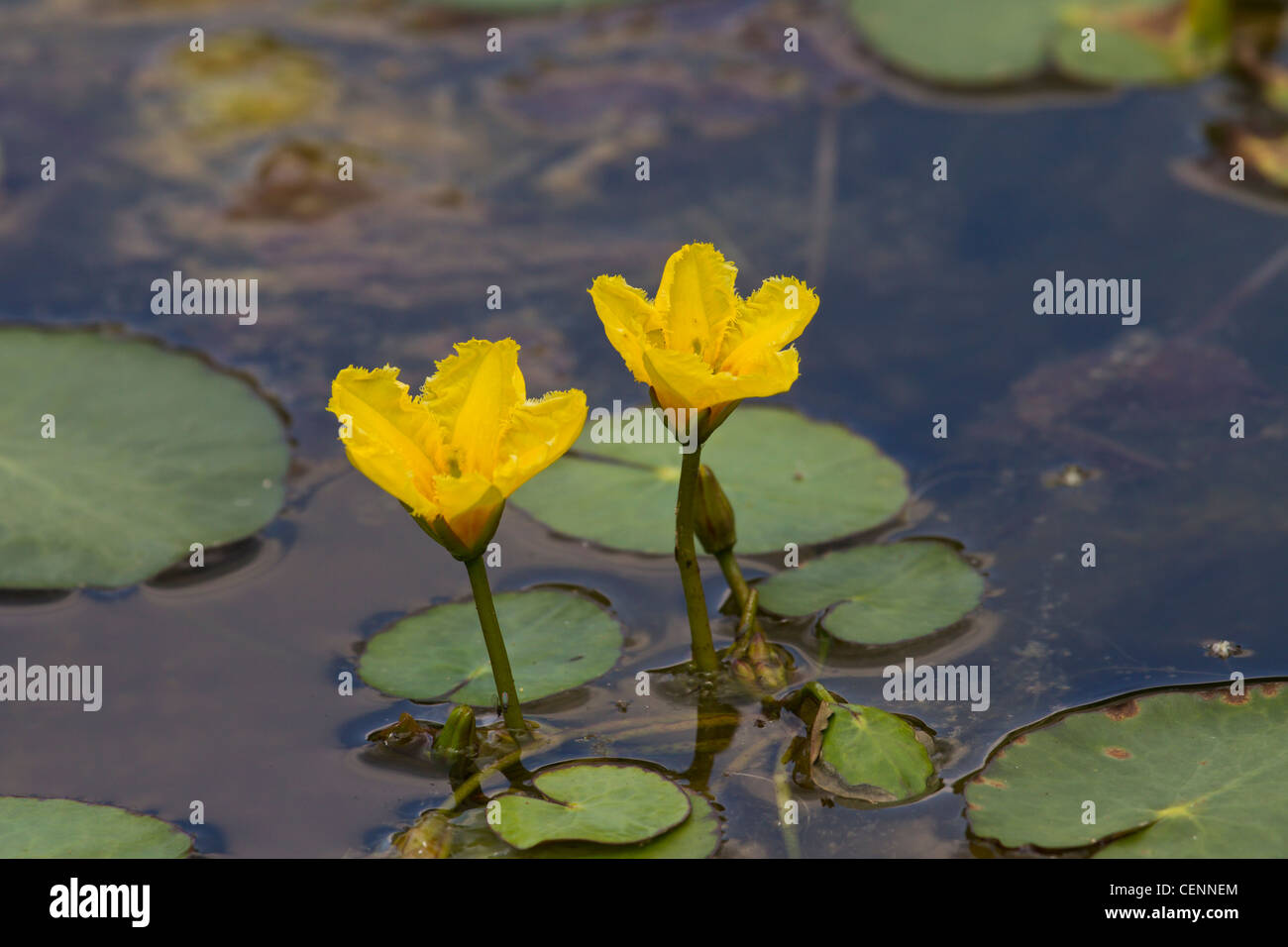 hight resolution of europaeische seekanne nymphoides peltata fringed water lily