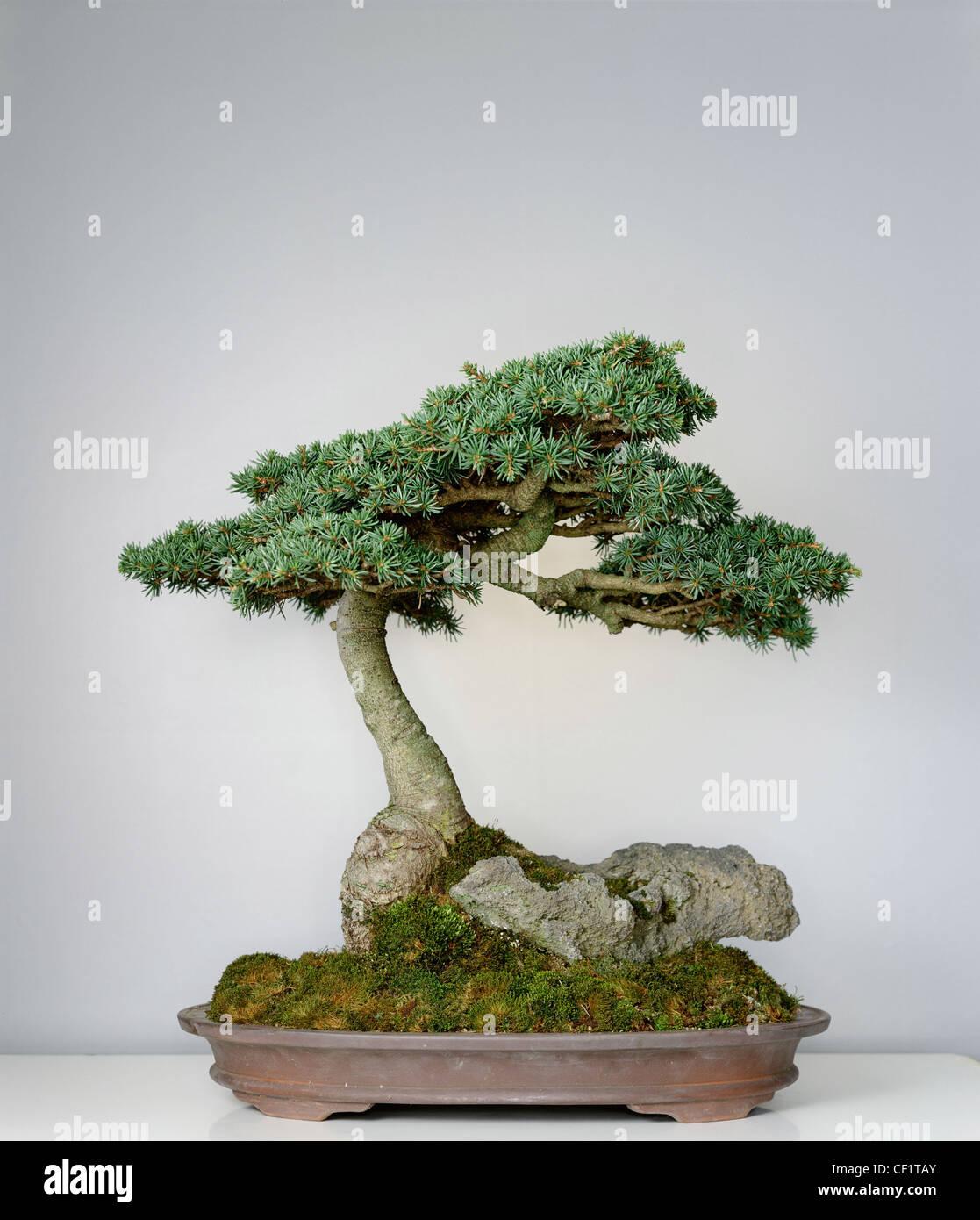 Douglas Fir Bonsai : douglas, bonsai, Bonsai, Resolution, Stock, Photography, Images, Alamy