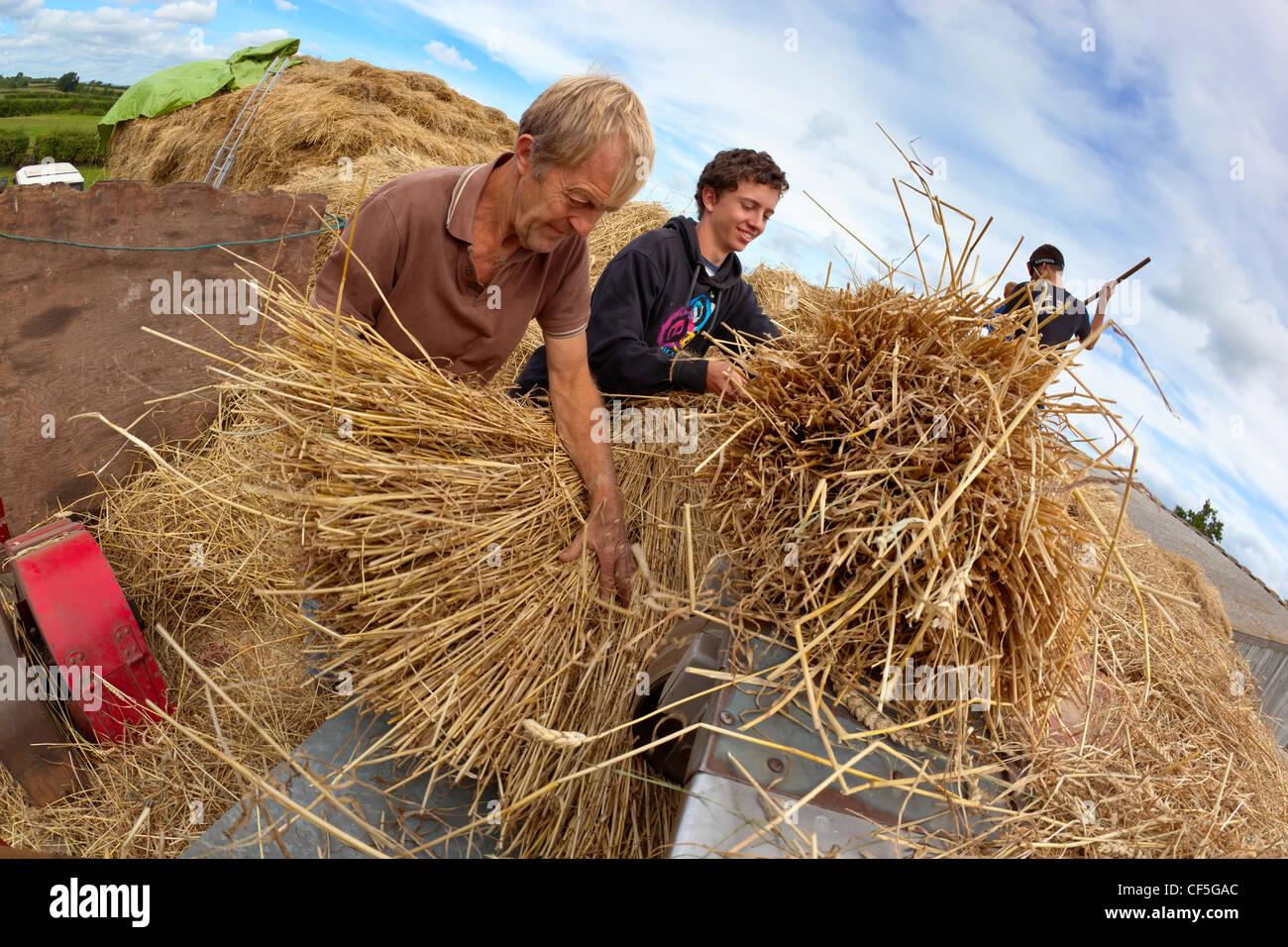Men hand feeding wheat into a threshing machine a ...