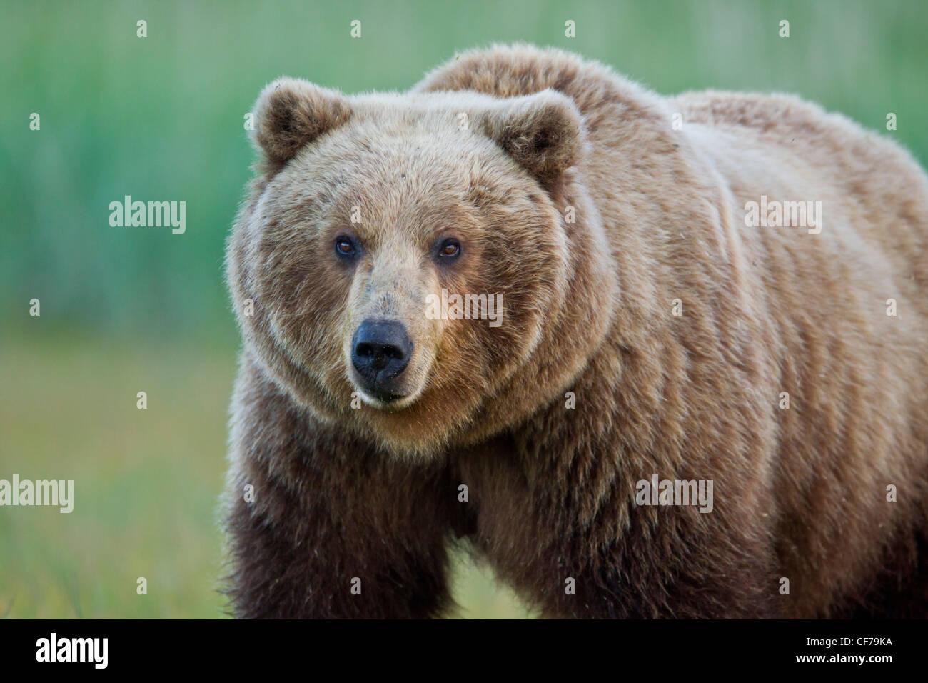 alaskan brown bear stock