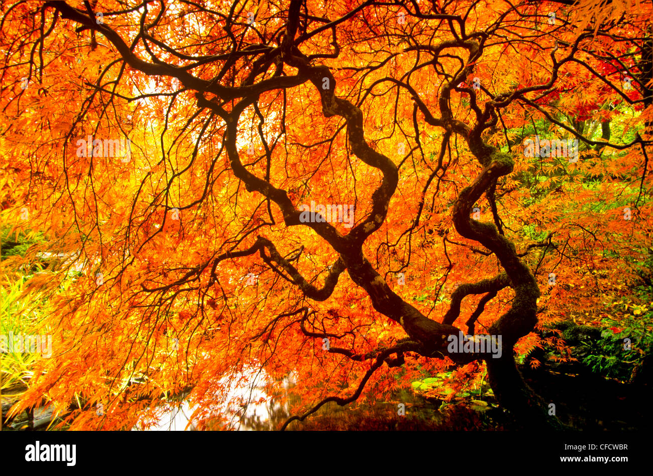 Live Wallpaper Fall Leaves Japanese Maple In Japanese Garden Butchart Gardens