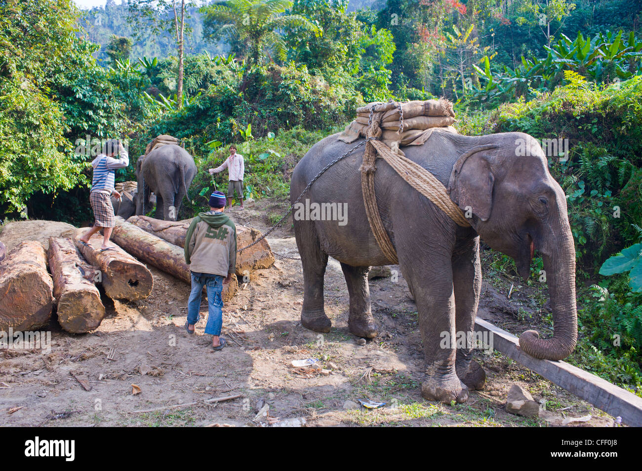 Working Elephants Carrying Illegally Logged Tropical Wood