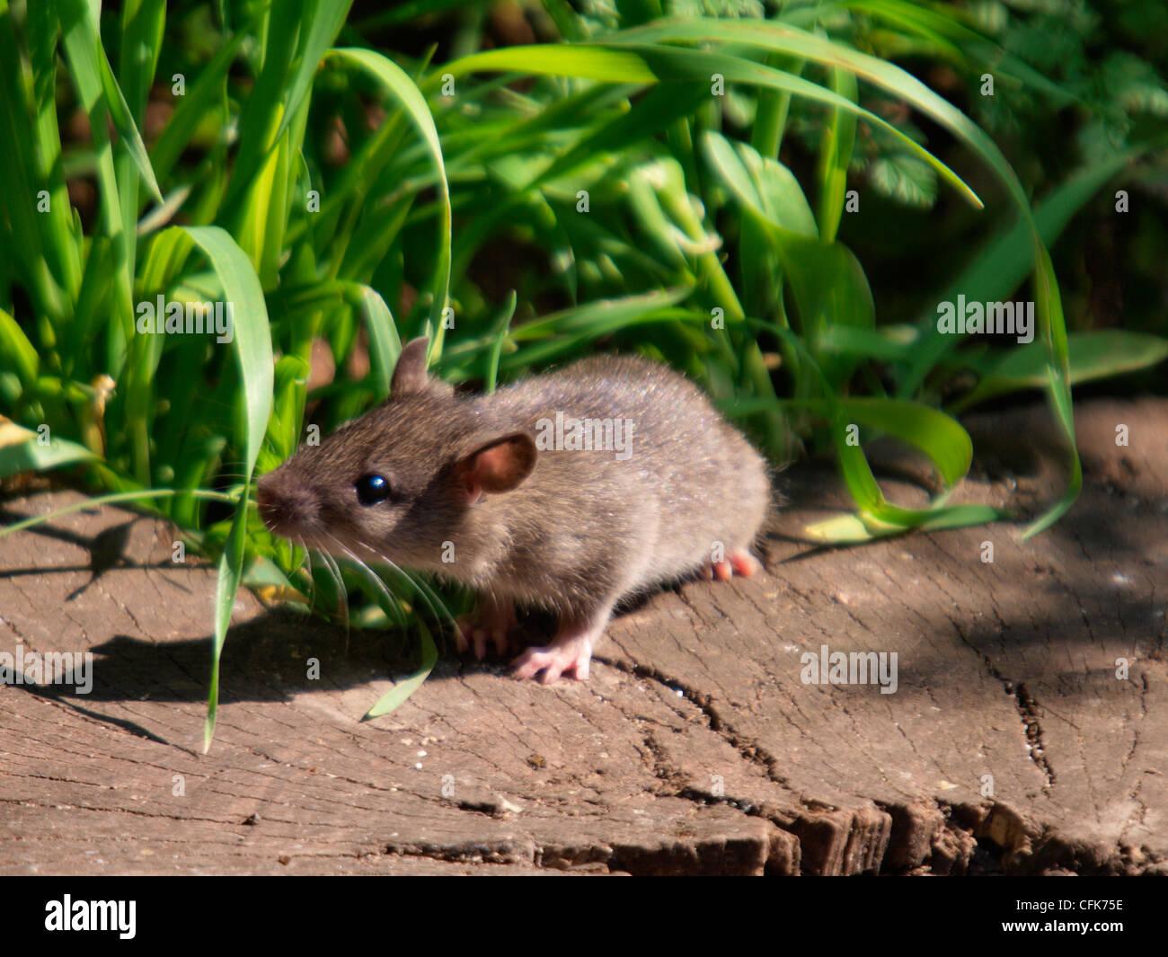 Baby Wild Brown Rat Rattus norvegicus eating crumbs left ...