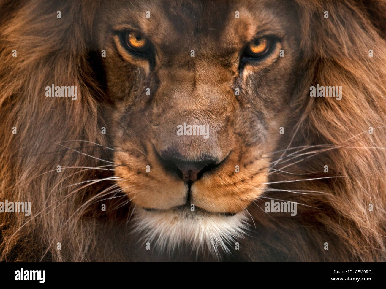 fierce lion stock photos
