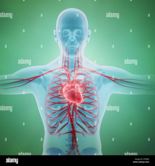 Circulatory System Stock &