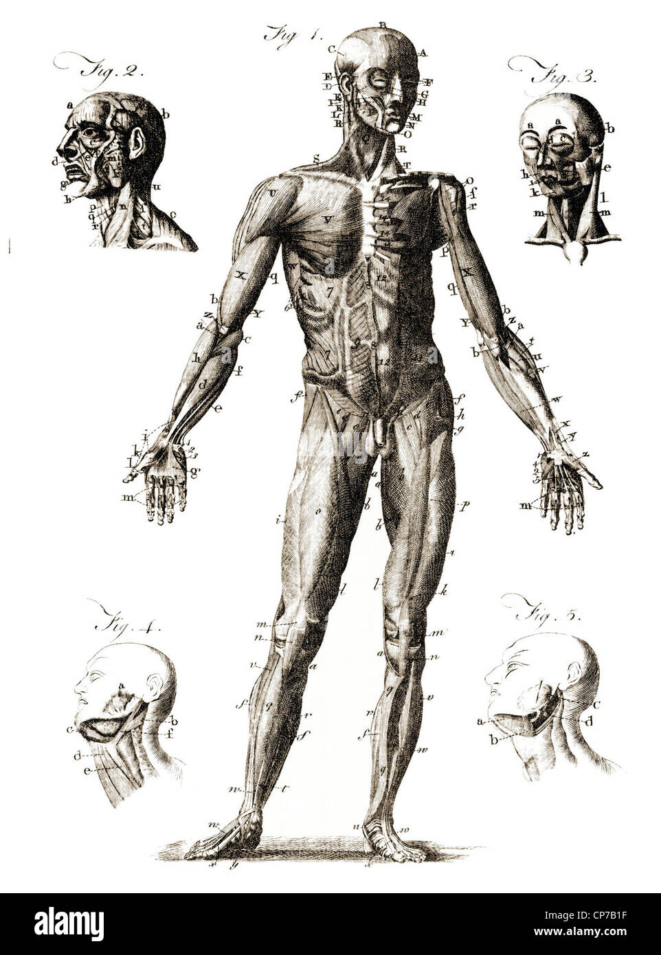 medium resolution of diagram showing labeled human anatomy published by unknown engraver in encyclopedia britannica 1771