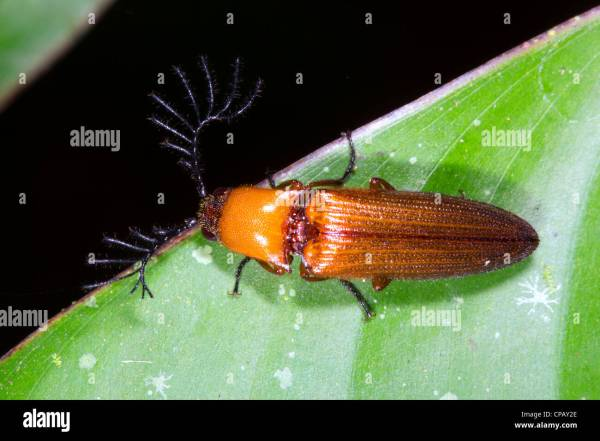 Click beetle Elateridae with large feathered antennae