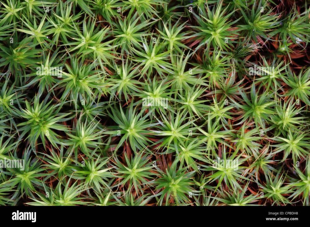 medium resolution of common haircap moss polytrichum commune stock image