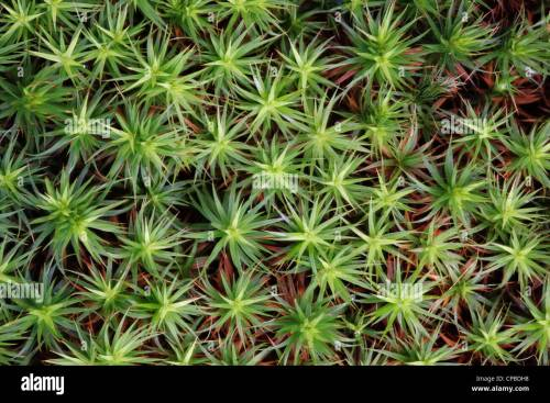 small resolution of common haircap moss polytrichum commune stock image