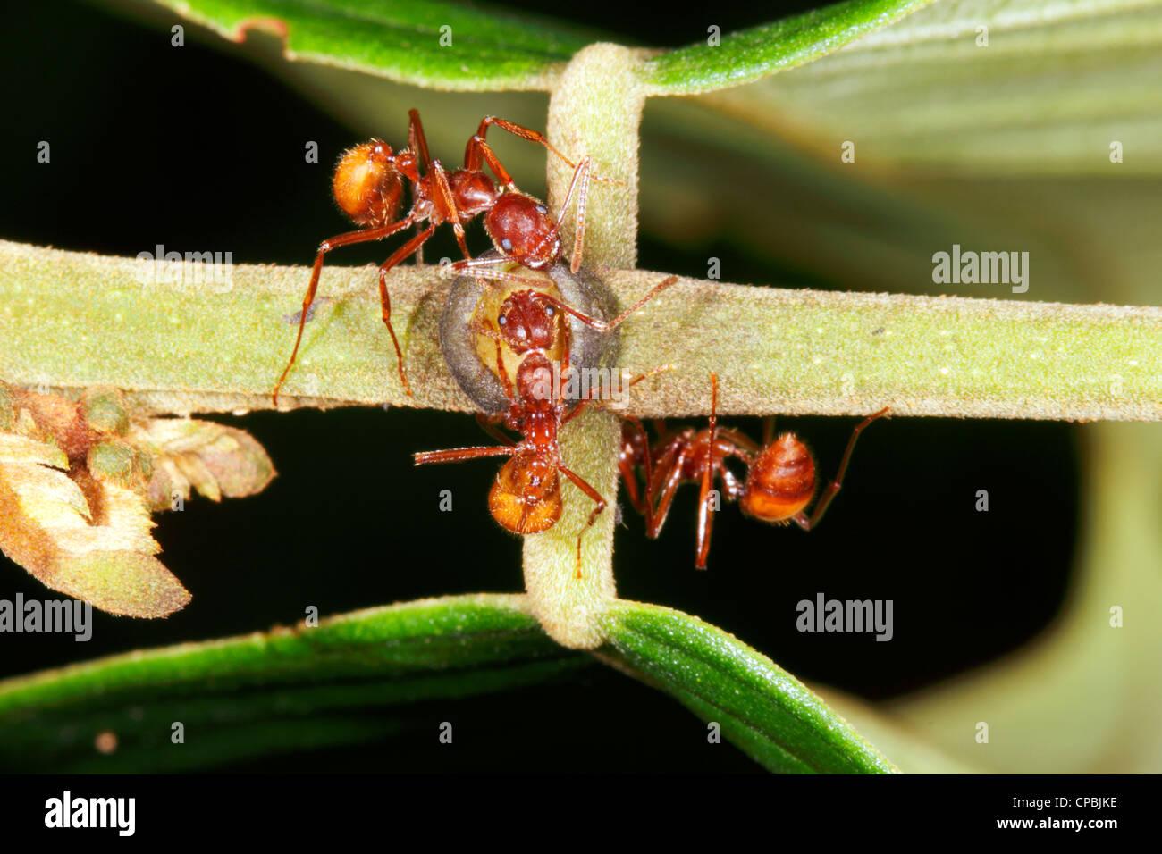 Petiole Ant