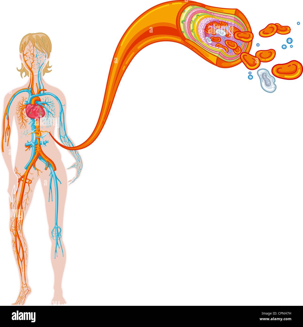 hight resolution of blood circulation illustration
