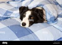 Dog is lying in bed, Border Collie Stock Photo, Royalty ...