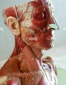 Academic anatomy arteries artery atlas of human body stock image also anatomical photos  images alamy rh