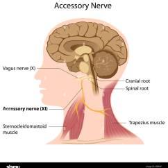 Vagus Nerve Diagram 2002 Chevy Blazer Wiring Radio Stock Photos Images Alamy Accessory Anatomy Image