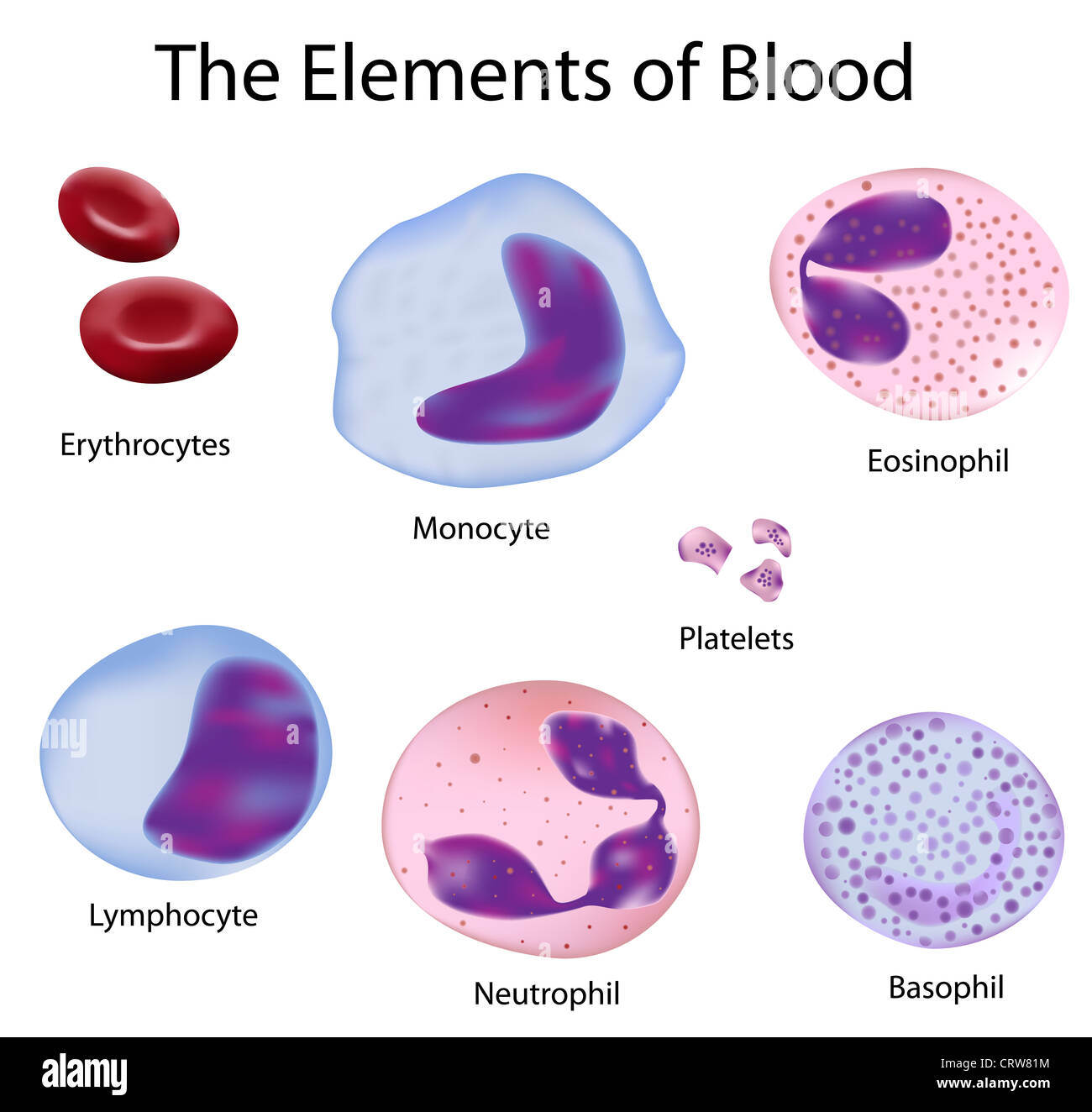hight resolution of neutrophil white blood cell cut out stock images pictures alamy rh alamy com