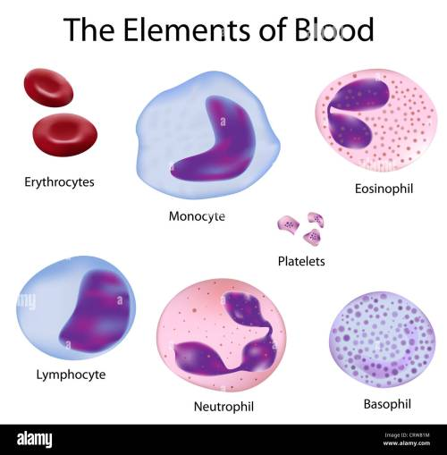 small resolution of neutrophil white blood cell cut out stock images pictures alamy rh alamy com