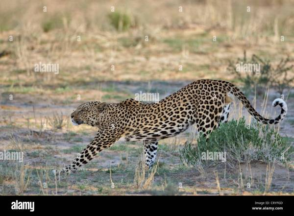 Leopard Stretching Stock &