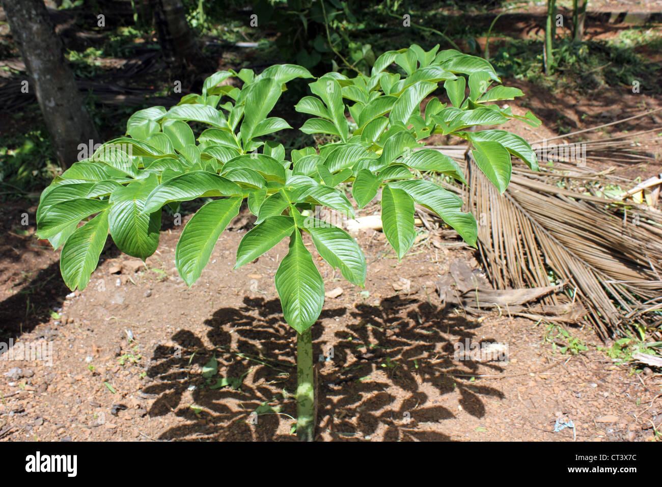 Plant of Elephant foot Yam or Amorphophallus paeoniifolius Stock Photo - Alamy
