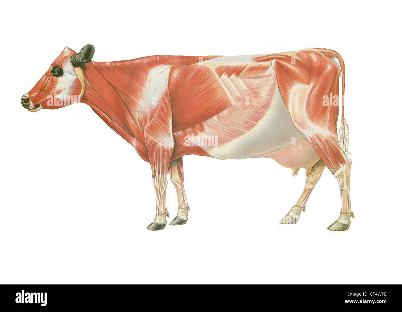 cow circulatory system diagram 2007 kenworth w900 stereo wiring anatomy drawing stock photo 49280518 alamy