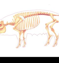 pig anatomy drawing stock image [ 1300 x 925 Pixel ]