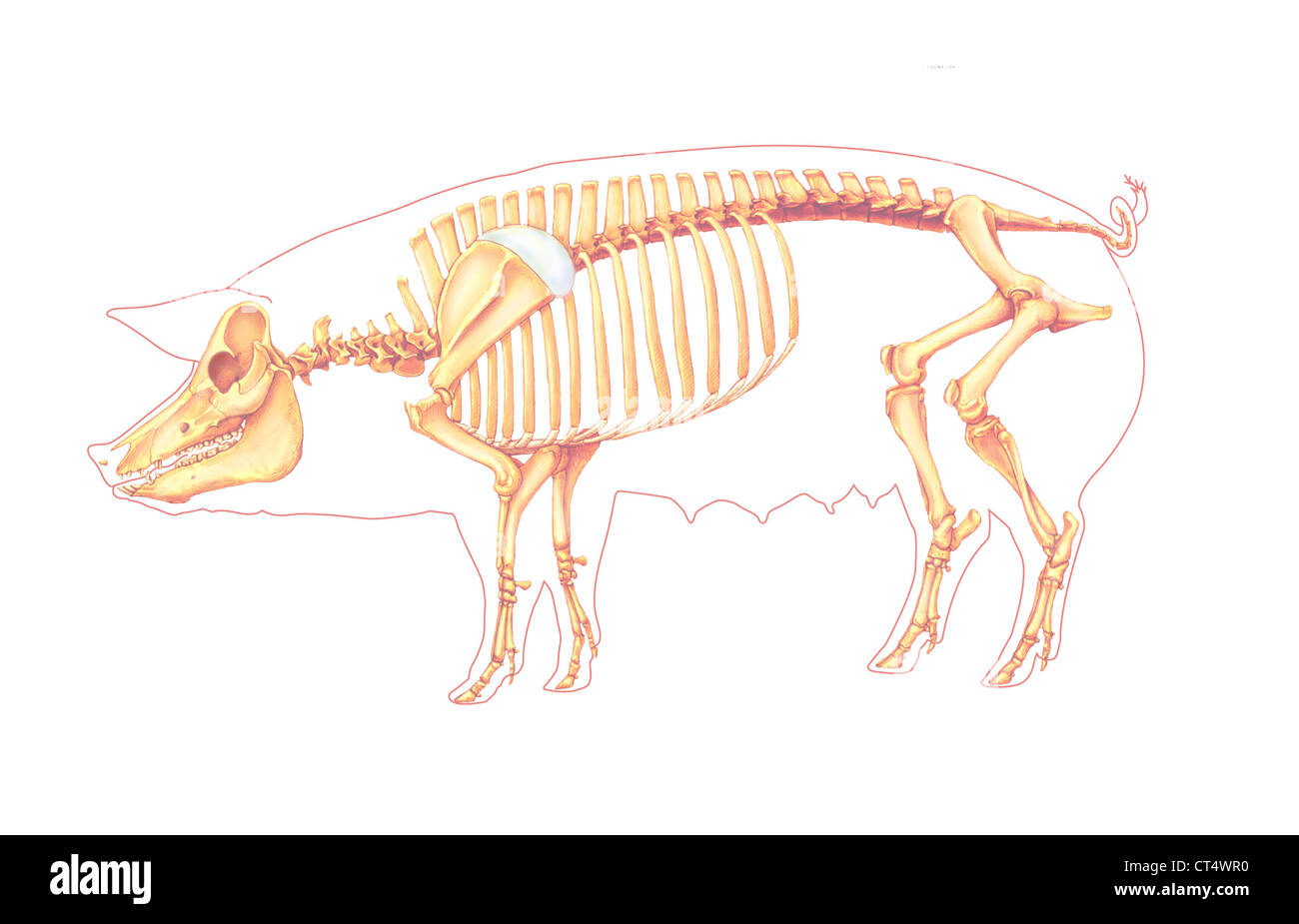 hight resolution of pig anatomy drawing stock image