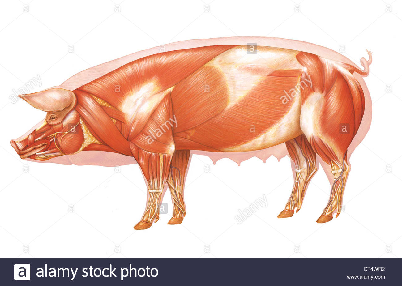external fetal pig muscle diagram xtrons wiring anatomy drawing stock photo 49280534 alamy