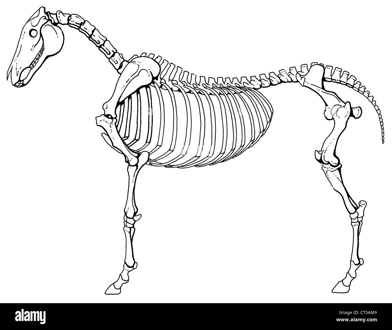 horse skeleton diagram labeled toyota hilux wiring 2016 stock photo 49290649 alamy