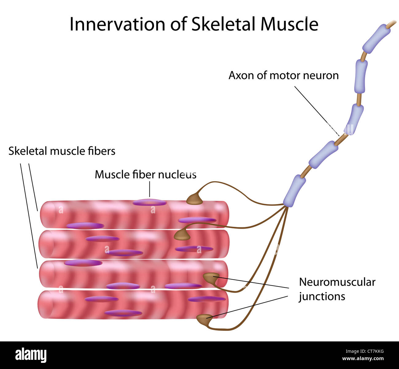 muscle fiber diagram 2001 volkswagen beetle parts skeletal innervation stock photo 49341588 alamy