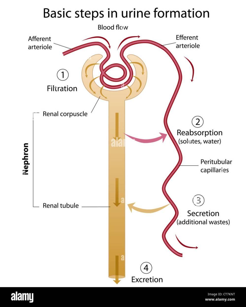 medium resolution of formation of urine