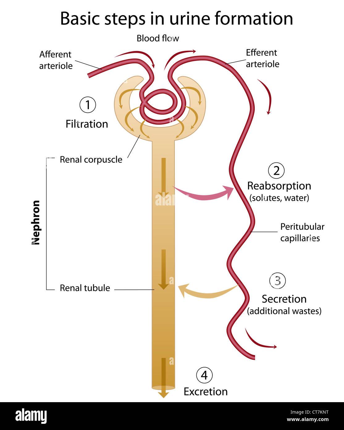hight resolution of formation of urine