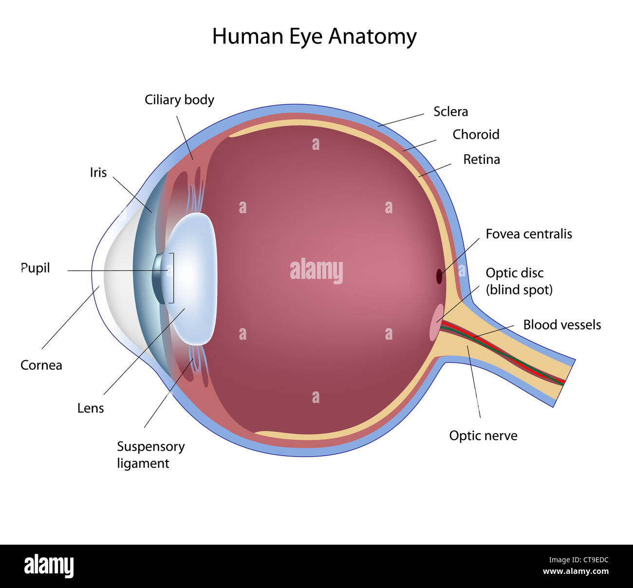 hight resolution of cross section of human eye stock image