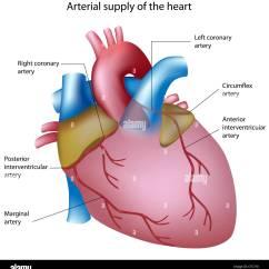 Coronary Arteries Diagram Branches Fender Tele Wiring Left Circumflex Artery Stock Photos And