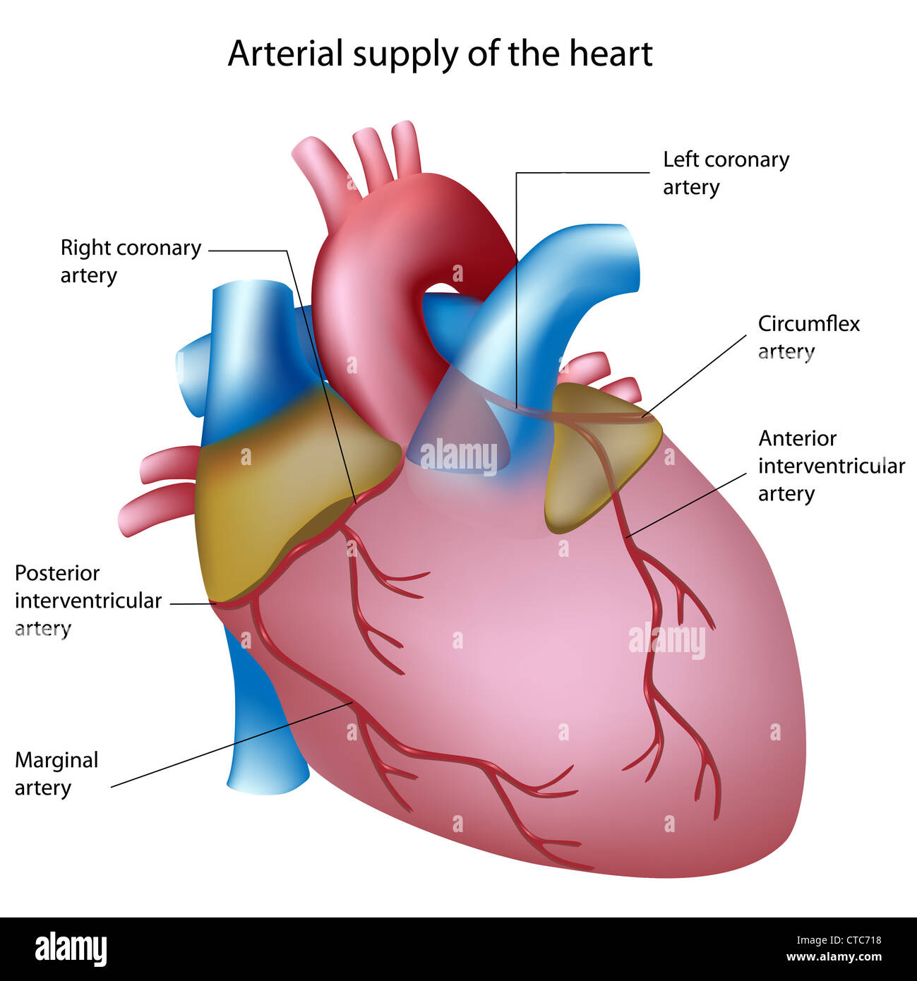 coronary arteries diagram branches immersion switch wiring left circumflex artery stock photos and