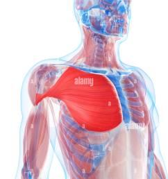 pectoralis major muscle artwork [ 974 x 1390 Pixel ]