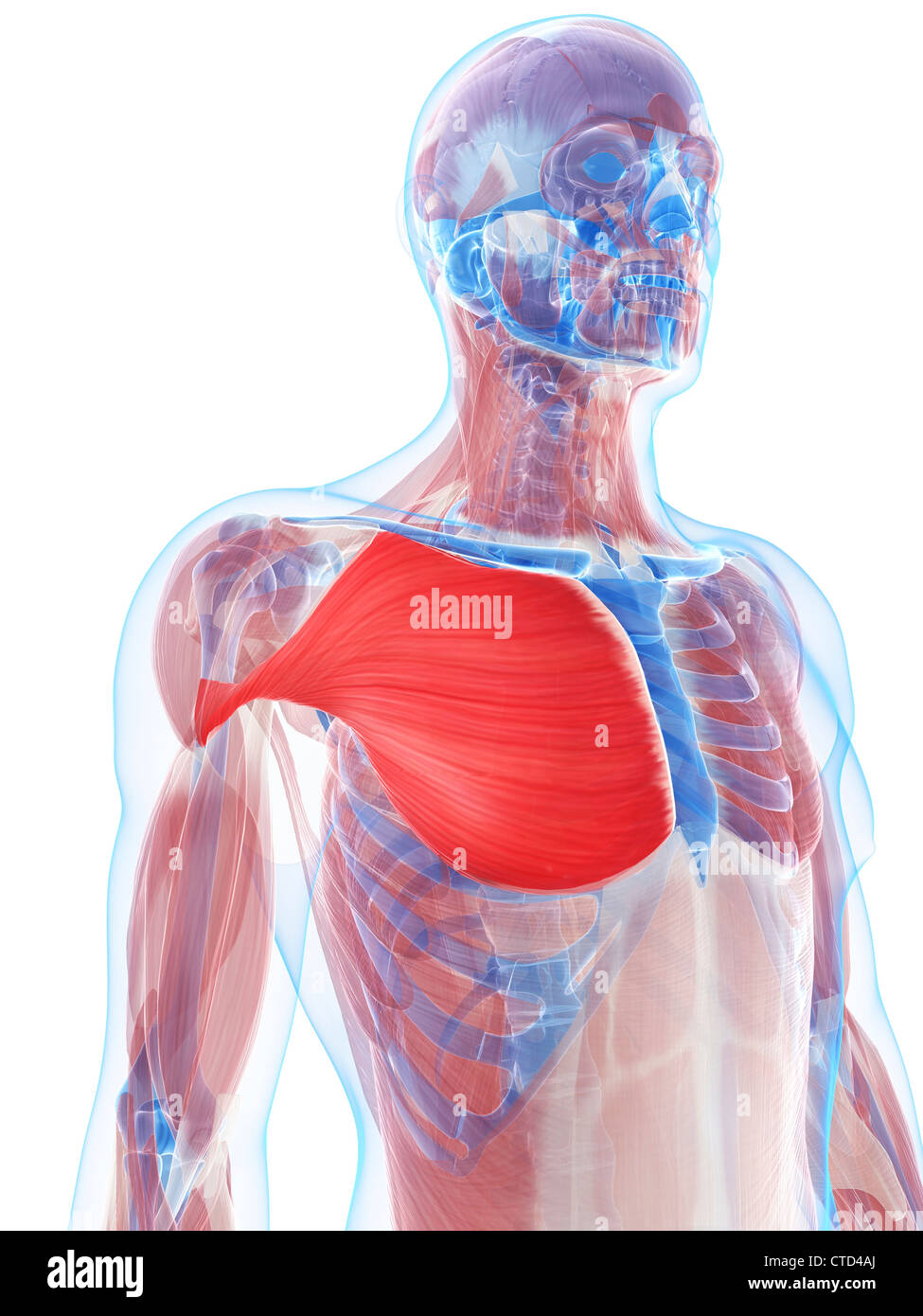 hight resolution of pectoralis major muscle artwork