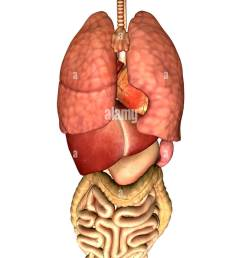 human anatomy organs lung heart liver digestion stock image [ 800 x 1390 Pixel ]